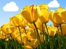 tulipanes amarillos sol