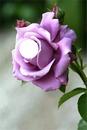 la rose viollette