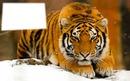 Tigre sur la neige