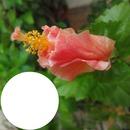 Hibiskus, lachsfarben