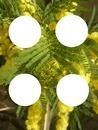 Mimosa 4 photos