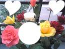 Roses des neiges