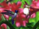beija flor 2