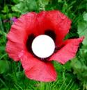 Pavot Flower