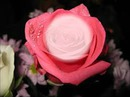 interior da rosa