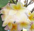 fleur jaunes de Tahiti ...