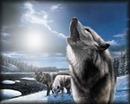 lobo en la noche4