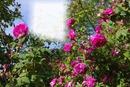 Un jardin de roses