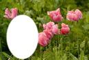 fleurs tulipes rose*