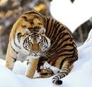 tigre dans la neige