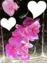Marie orchid coeur