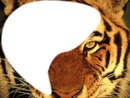 Montage tigre 2