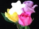 roses multicolore