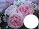 Cétina rose