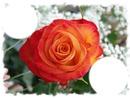 la beauté des roses