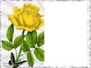jolie rose jaune laly