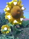 fleurs tournesols