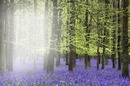 Jacinthes des bois (Muguet bleu)
