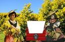 "Mimosas ""l'or de la Provence"""