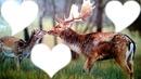 le cerf et la biche amoureux