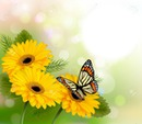 butterfly sunflowers yellow fran