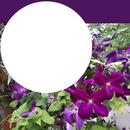 Clematis violett