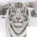 TIGRE SEXY :)