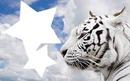 tigers estrella
