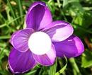 fleur d'alysée