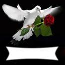 colombe a la rose