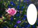 rose et bleu
