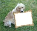 Náš zlatý retriever, pes, rám