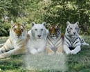 4 tigres