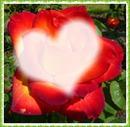 Rose der Sehnsucht