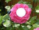 la rose 247
