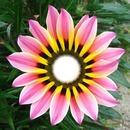 Cc petalos de flor