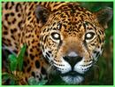 Mis ojos en un jaguar
