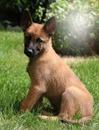 un petit chien Malinois de la part de Amal Algouti
