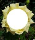 rose jaune 2