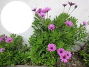 marguerites violettes FIRGAS, Gran Canaria