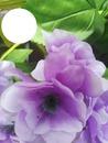 fiori glicine2