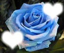 rosa de amor