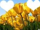 Les tulipe de l'amitier