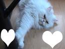 chat blanc coeurs