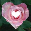 rose en forme de coeur