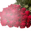 Red roses (trandafiri rosii)