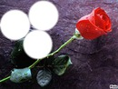 une rose pour 3 amours