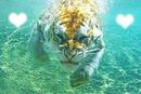 le tigre sous l eau