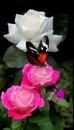 renewilly mariposa y rosas