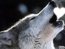 loup hurlant un coeur